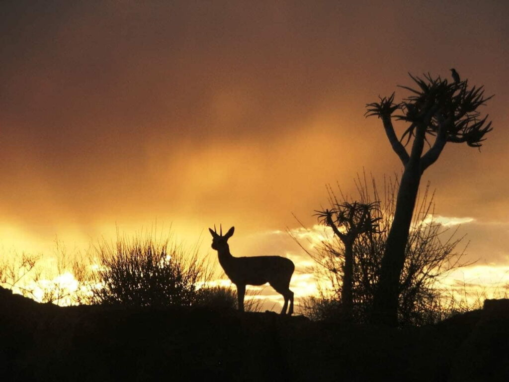 Klipspringer Sunset