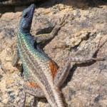 tv-augrabies-flat-lizard-male